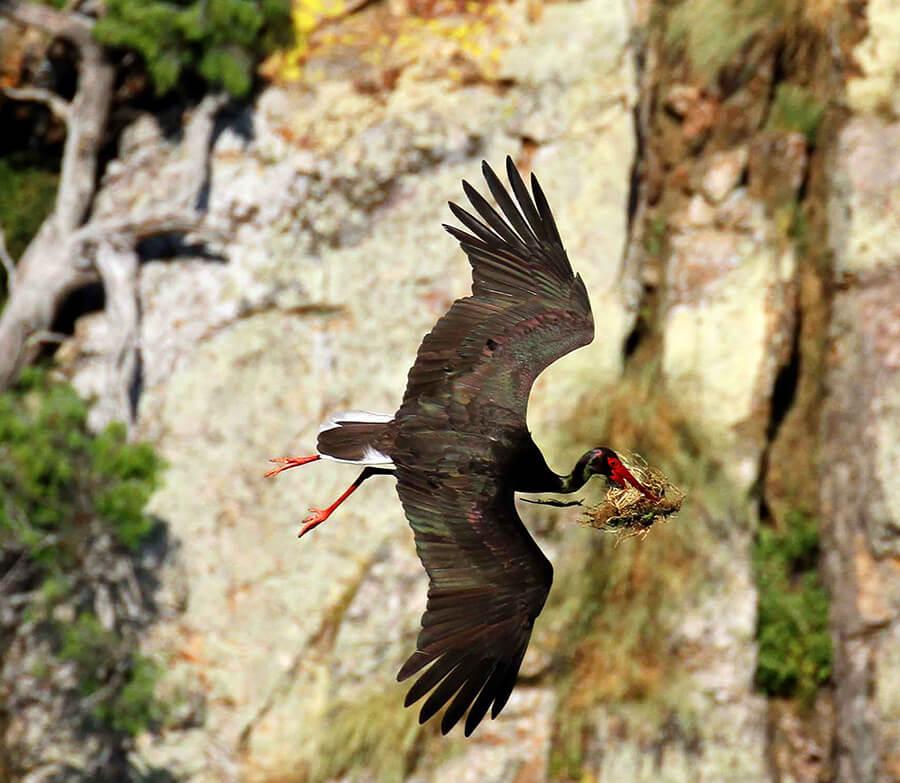Salto del Gitano cigüeña negra volando